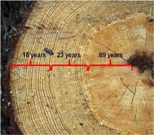 How can you tell age of a tree