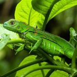 OMG!Chilly weather dropping Iguanas from trees