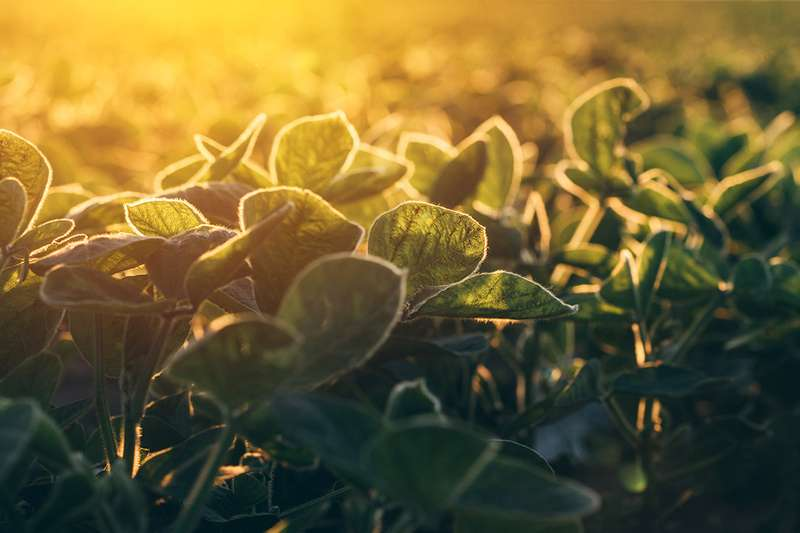 Boost food production by fixing a flaw in photosynthesis