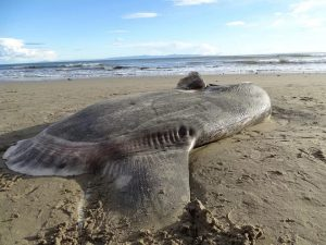 Sunfish bigger than a hot tube gets lost