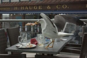 Seagulls eating food touched by humans