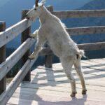 Do Rock Goats really eat Rock?