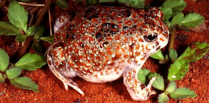 Frogs that live in desert